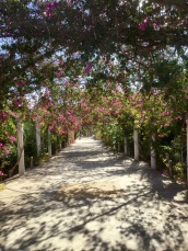 Avenue of Bougainvillea between Ayia Napa and Cape Greco